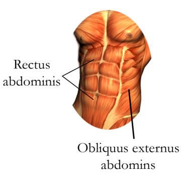 magmuskler