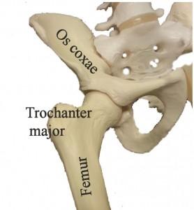 Trochanter major är en del av lårbenet (femur).