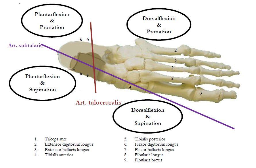 Rörelseaxlar och muskelfästen i foten.