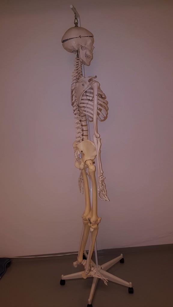 Hållningen är beroende av olika faktorer som bland annat skelettet och muskler.