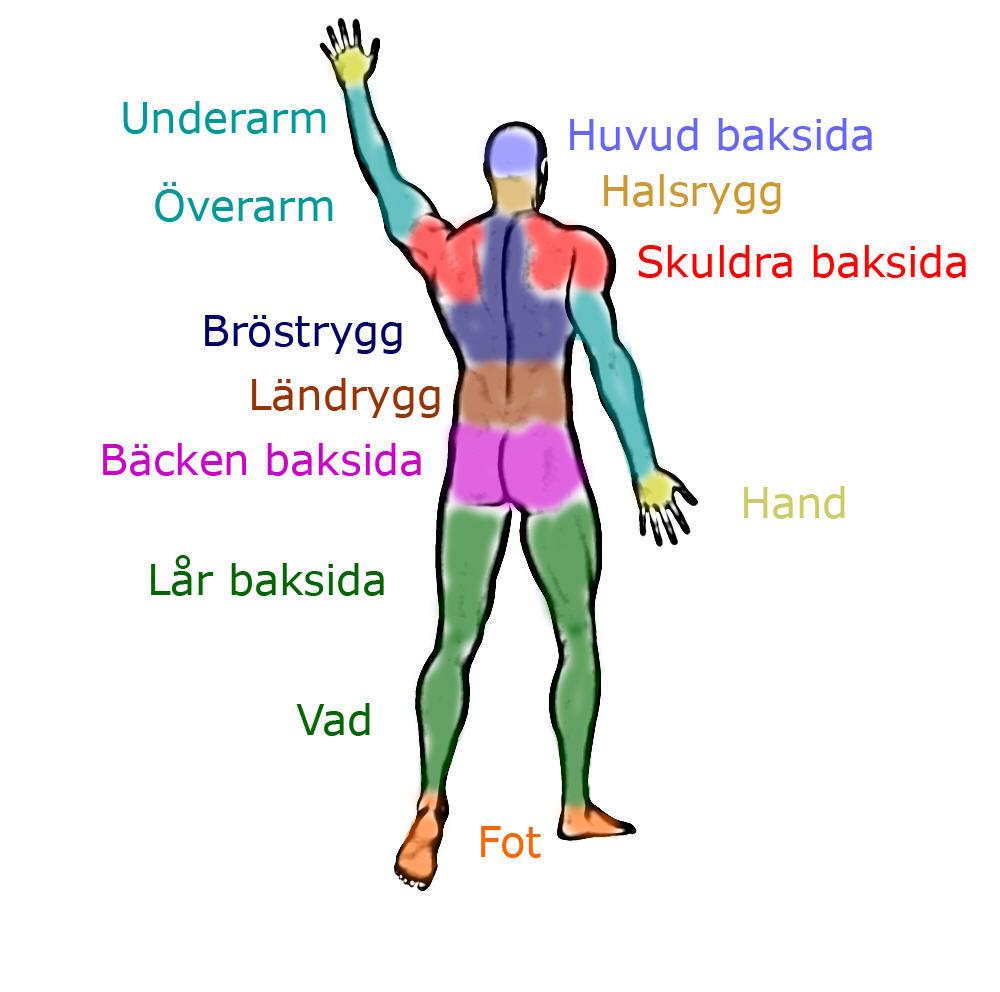 anatomiska regioner baksida