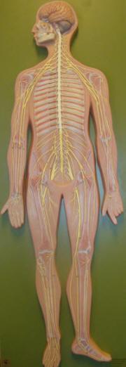 Nerver förmedlar smärtar