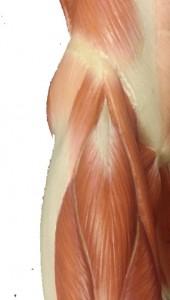 Knäppande höft så kallad snapping hip kan komma från muskelsenor vid höften.